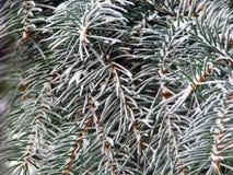 Agujas de la conífera del invierno Fotografía de archivo libre de regalías