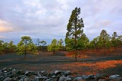 Agujas de los árboles de pino rojo en suelo negro del volcán Imagen de archivo