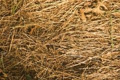 Agujas de oro de la picea y del pino que mienten en la capa uniforme de tierra Foto de archivo