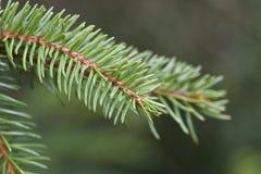 Agujas de un árbol de pino imagen de archivo