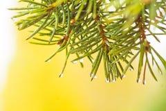 Agujas de un árbol de navidad con las gotas de agua Rama del abeto en un fondo amarillo Foto de archivo libre de regalías