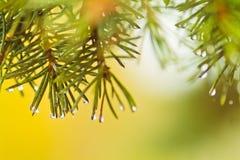 Agujas de un árbol de navidad con las gotas de agua Rama del abeto en un fondo amarillo Imagen de archivo libre de regalías