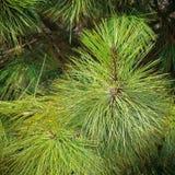 Agujas del árbol Fotos de archivo