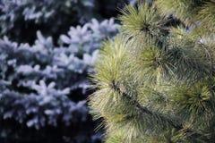 Agujas del árbol Imagen de archivo libre de regalías