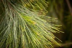 Agujas del árbol de pino Imagen de archivo