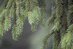 Agujas del árbol de pino Fotografía de archivo libre de regalías