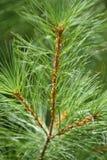 Agujas del árbol de pino Imagenes de archivo