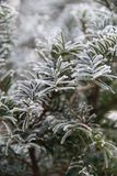 Agujas del abeto en invierno Fotografía de archivo
