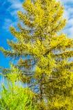 Agujas del amarillo del alerce del árbol conífero contra el cielo azul Fotos de archivo