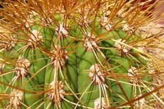 Agujas del cactus Foto de archivo libre de regalías