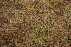 Agujas del otoño background.dry grass.pine Imagen de archivo libre de regalías