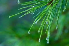 Agujas del pino Imagen de archivo libre de regalías