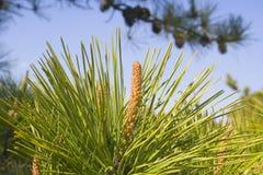 Agujas del pino Imagen de archivo