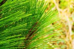 Agujas del pino Fotos de archivo