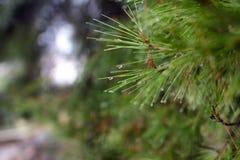 Agujas del pino con gotas de lluvia Imagen de archivo