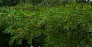 Agujas del pino con las gotas de agua Fotografía de archivo
