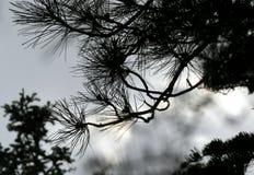 Agujas del pino contra un cielo gris Foto de archivo libre de regalías