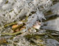 Agujas del pino cubiertas con el copo de nieve de la helada Fotos de archivo