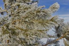 Agujas del pino cubiertas con helada Fotos de archivo libres de regalías
