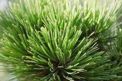 Agujas del pino en la luz del sol en la gama cercana Fotografía de archivo libre de regalías