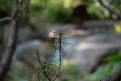 Agujas del pino en la rama Imagenes de archivo