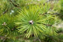 Agujas en árbol de pino Imagen de archivo