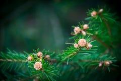 Agujas en un árbol fotografía de archivo libre de regalías