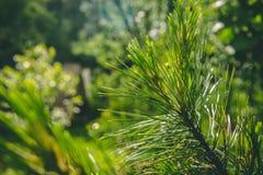 Agujas en una rama del cedro en la luz del sol fotos de archivo libres de regalías