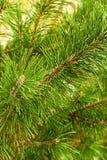 Agujas finas de florecimiento de la base de la rama del abeto del conica del diseño del fondo floral festivo peludo brillante de  imagen de archivo libre de regalías
