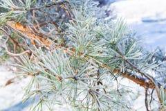 Agujas heladas del pino Fotografía de archivo libre de regalías