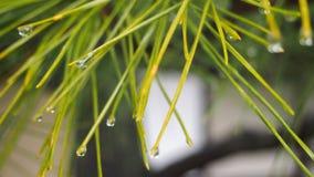 Agujas japonesas del pino imagen de archivo