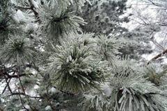 Agujas largas del pino cubiertas en helada mucha de la corona fotos de archivo