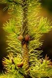 Agujas mojadas Pinecone del pino de las agujas del árbol de pino pequeñas imagen de archivo