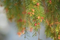 Agujas Spruce Imagen de archivo