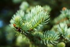 Agujas spruce azules. Foto de archivo libre de regalías