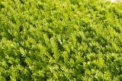 Agujas verdes Imagen de archivo libre de regalías
