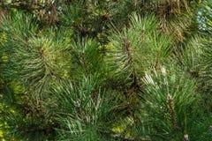 Agujas verdes Fotografía de archivo libre de regalías