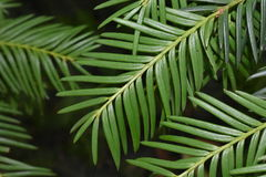Agujas verdes Imagen de archivo