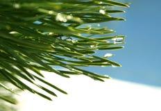 Agujas verdes del pino fotografía de archivo