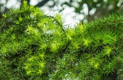 Agujas verdes del pino Fotos de archivo