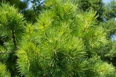 Agujas verdes frescas del alerce en primavera Fotografía de archivo