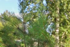 Agujas verdes frescas del pino, otros árboles Fotos de archivo