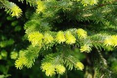 Agujas verdes frescas en el árbol de navidad fotos de archivo libres de regalías