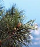 Agujas y conos del primer año de un pino Stankievich Fotos de archivo