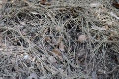 Agujas y hojas muertas del pino Imágenes de archivo libres de regalías