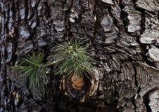 Agujas y resina verdes del pino Imagenes de archivo