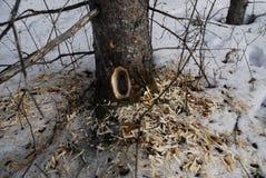 Agujero animal del árbol Fotos de archivo libres de regalías