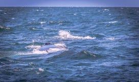 Agujero del soplo de la ballena jorobada imagen de archivo