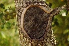 Agujero extraño del árbol Fotos de archivo