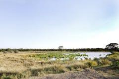 Agujero pantanoso del área y de agua en el prado de la conservación de Ol Pejeta, Kenia Imagen de archivo libre de regalías